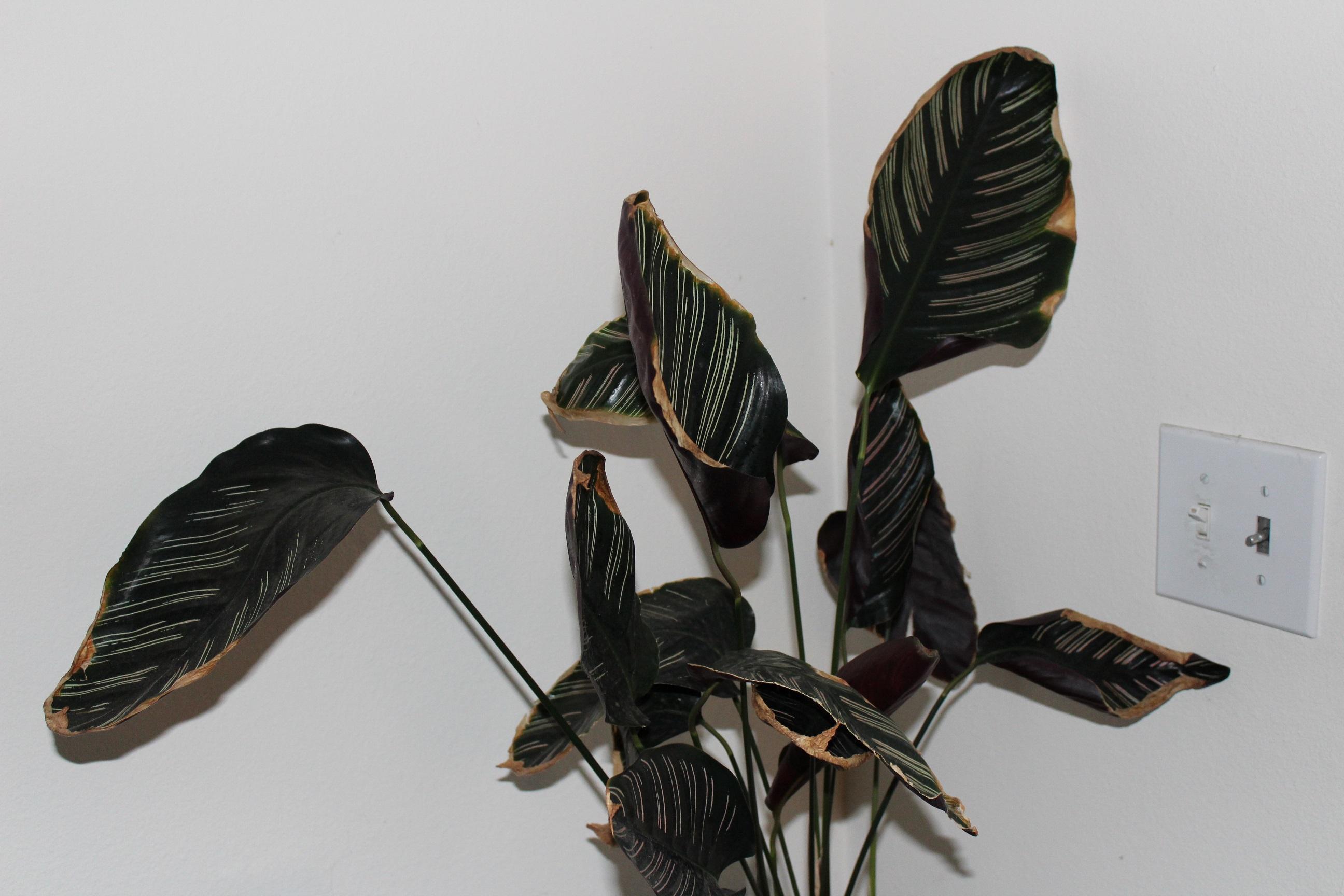 Calathea ornata crispy.jpg