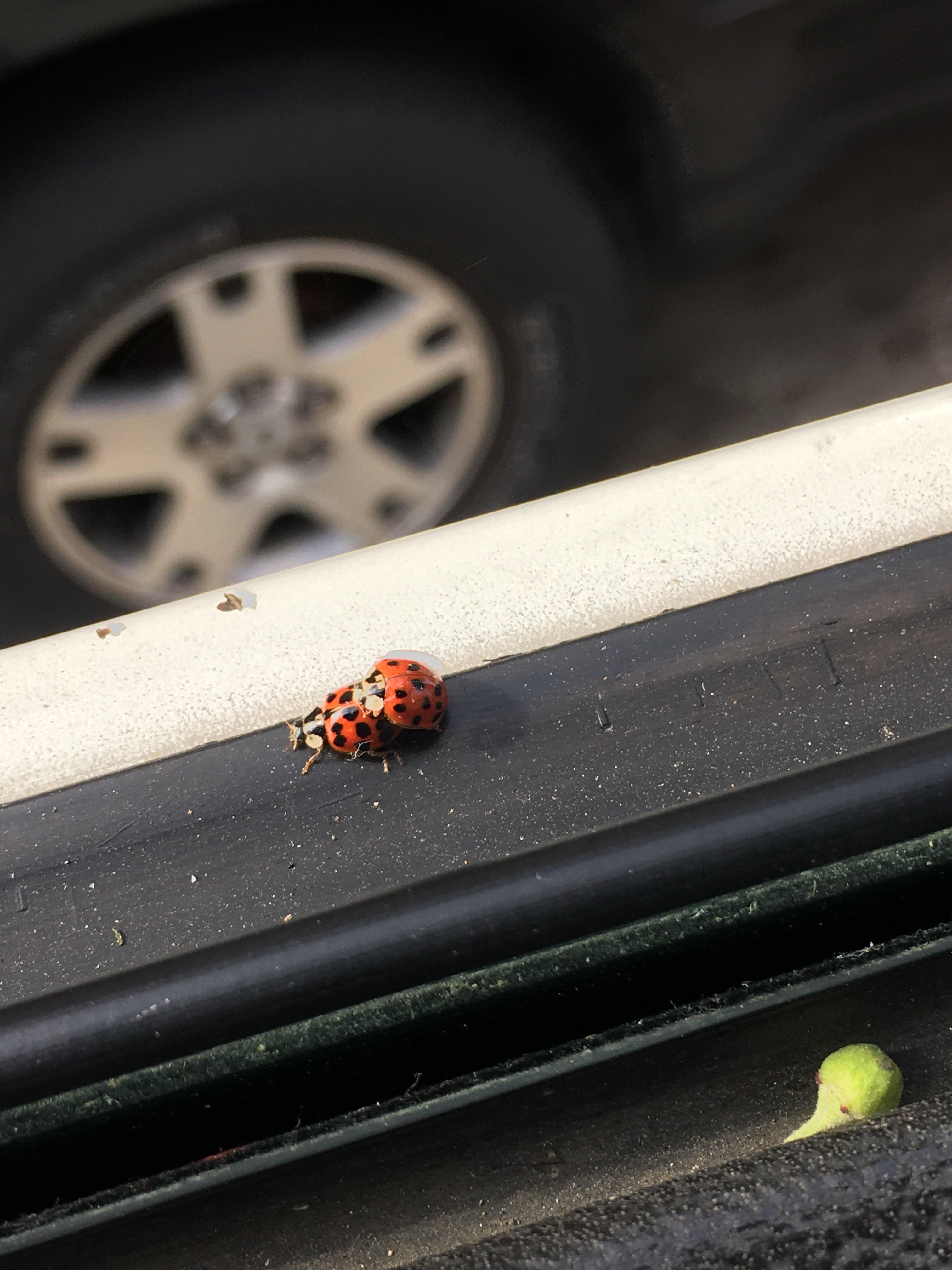 Lady Bugs.jpeg